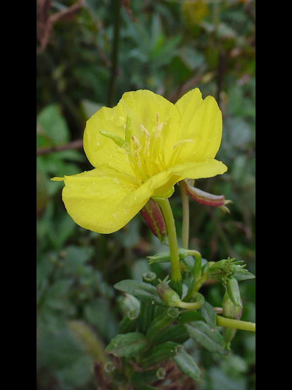オオメマツヨイグサ 花