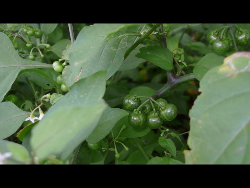テリミノイヌホオズキ (標準的な環境のもの) 果実