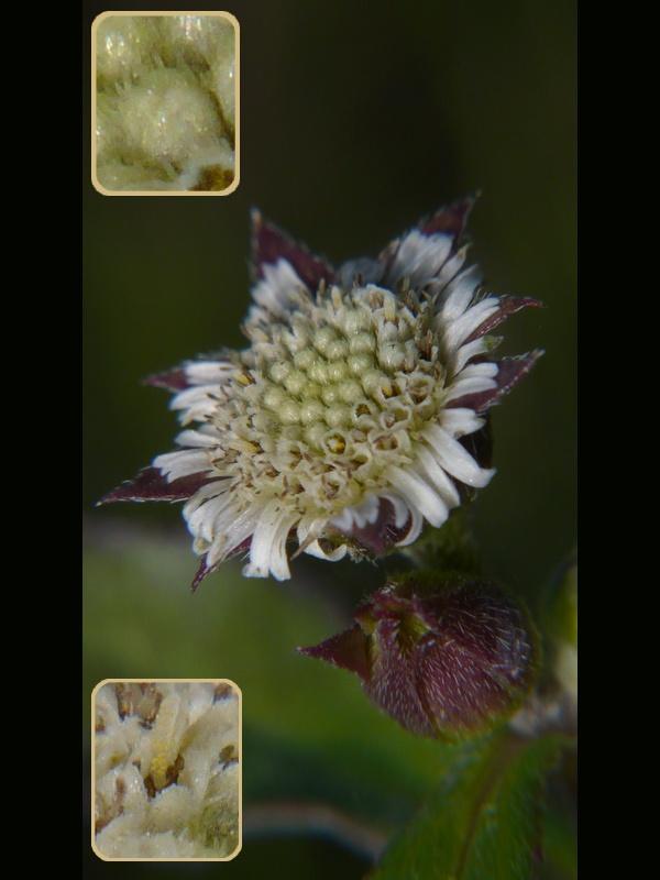 (モト)タカサブロウ 頭花