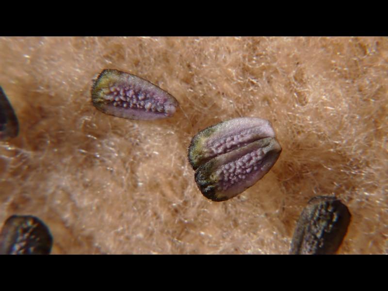 (モト)タカサブロウ 果実の拡大