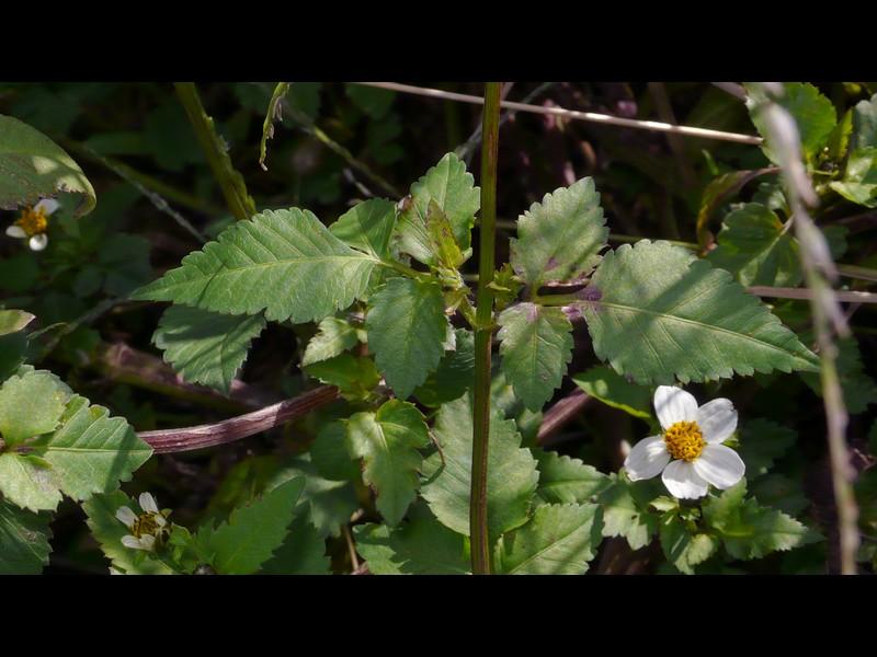 コシロノセンダングサ 中部の葉