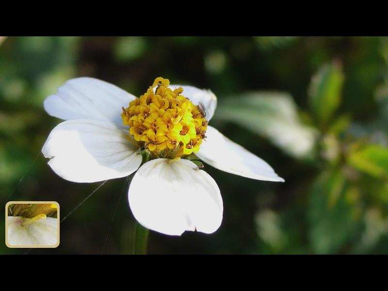 コシロノセンダングサ 頭花