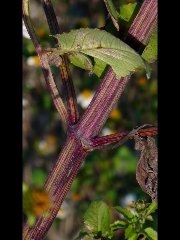 コシロノセンダングサ 茎