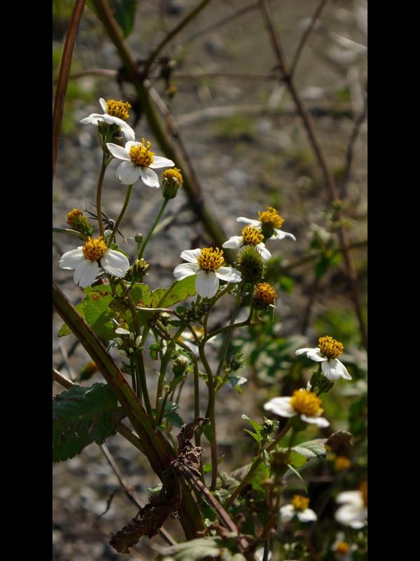 コシロノセンダングサ 花序