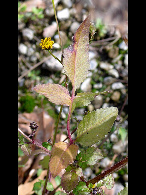 コセンダングサ 葉