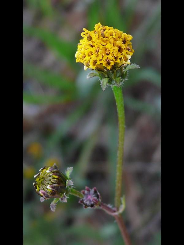 コセンダングサ 白味のあるほんの少し大きくなった小花のある頭花の例