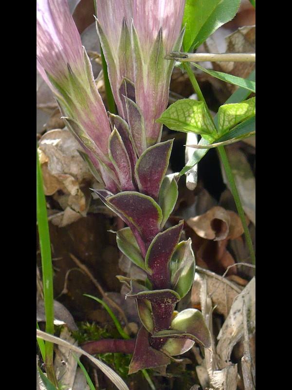 フデリンドウ 葉と茎
