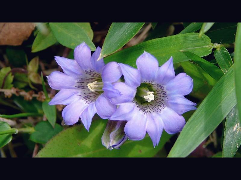 フデリンドウ 花