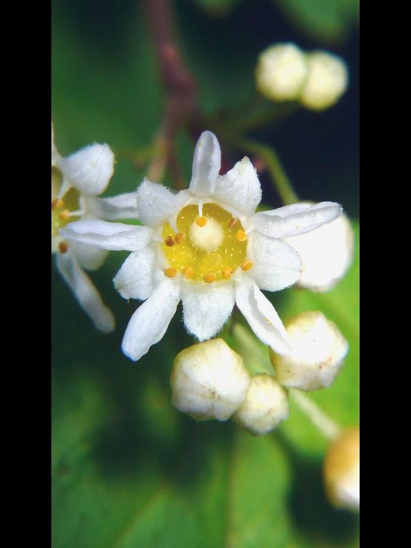 コゴメウツギ 花