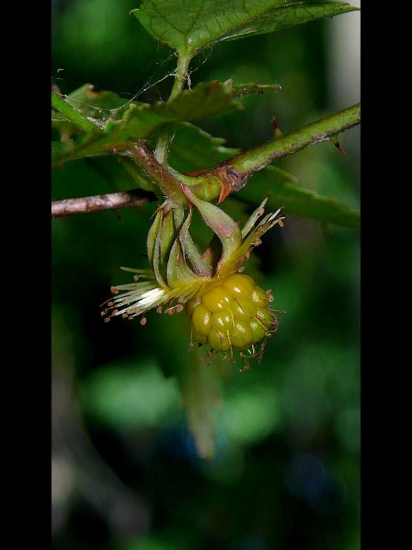 モミジイチゴ 若い果実