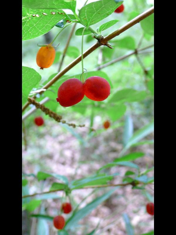 ウグイスカグラ 二つの果実