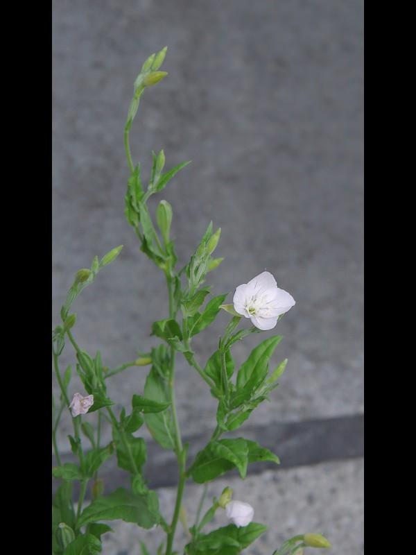 アカバナユウゲショウ (白花品) トップ