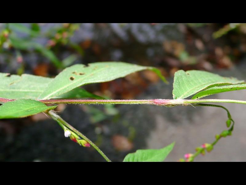 ボントクタデ 茎と托葉鞘