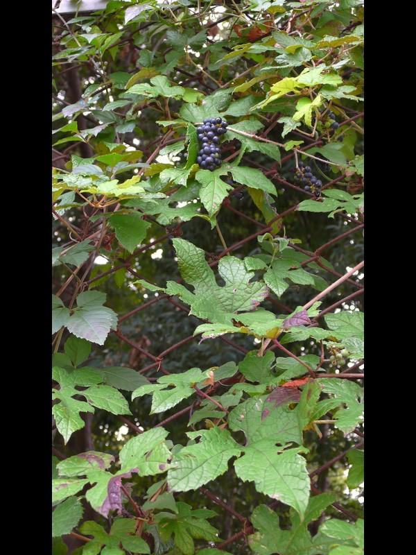 エビヅル キクバエビヅルの果実期全景
