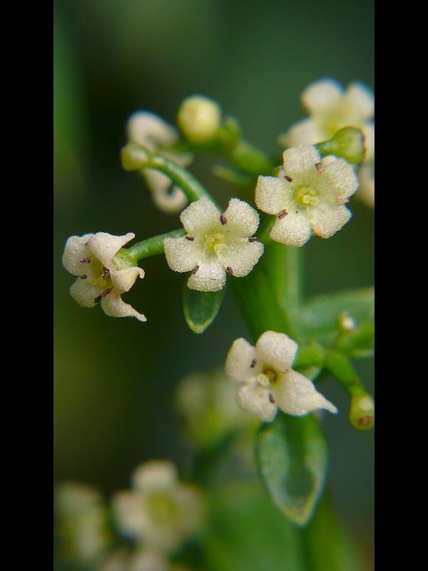 アカネ 花