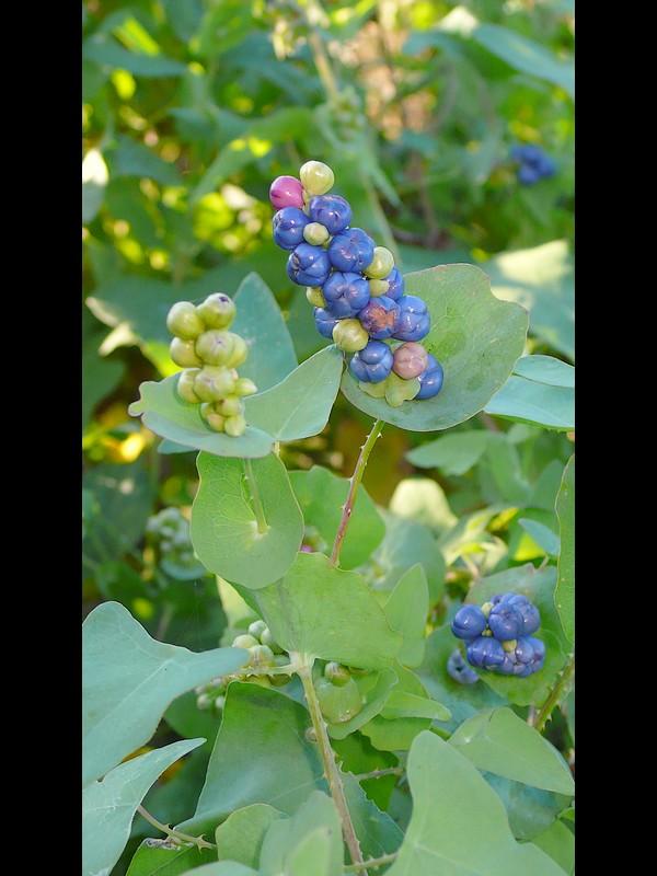 イシミカワ 多果な花序