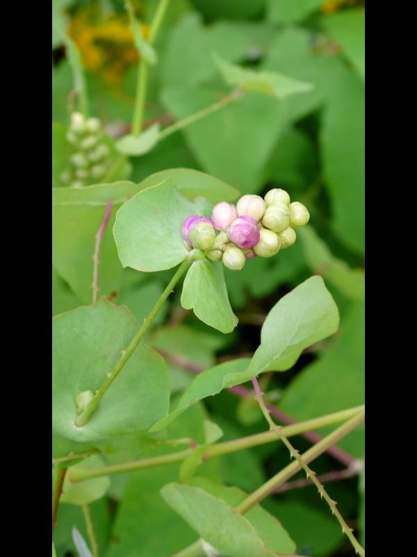 イシミカワ 若い果実