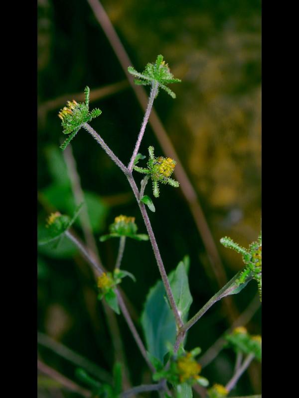 コメナモミ 花序