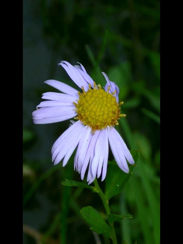 カントウヨメナ 花