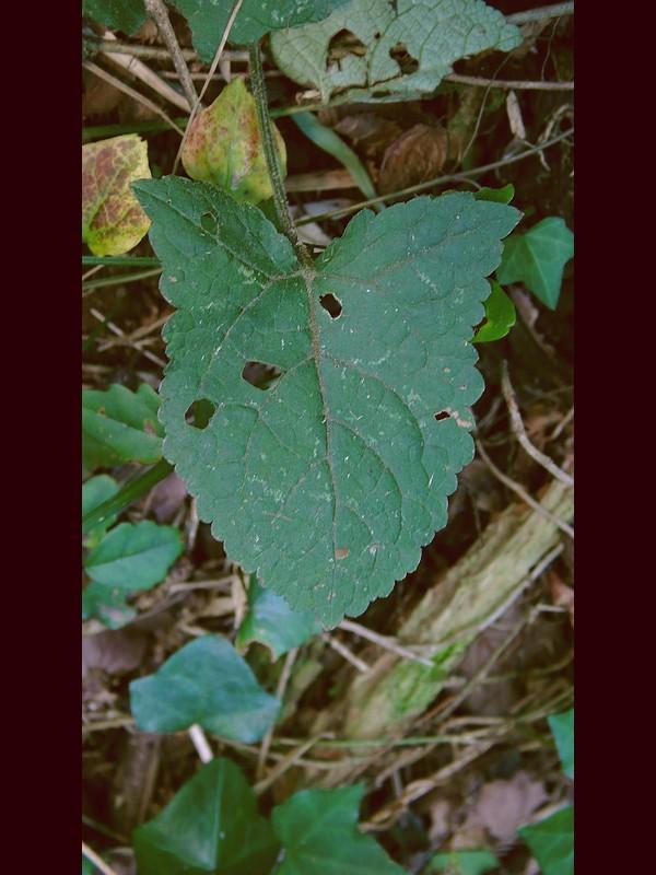 キバナアキギリ 葉