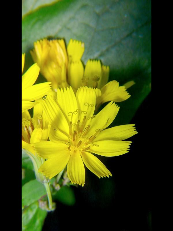 ヤクシソウ 花