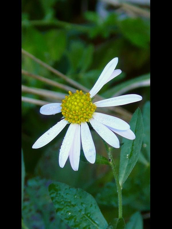 ユウガギク 花