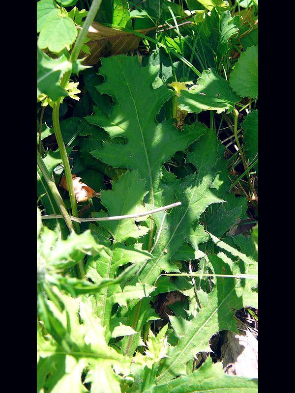 クルマアザミ 根生葉