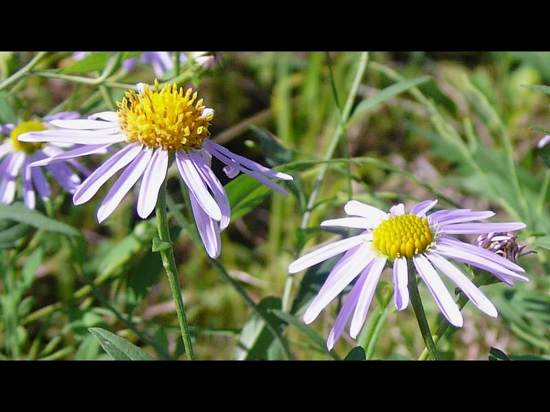 カントウヨメナ 陽光地競合なし状態 花
