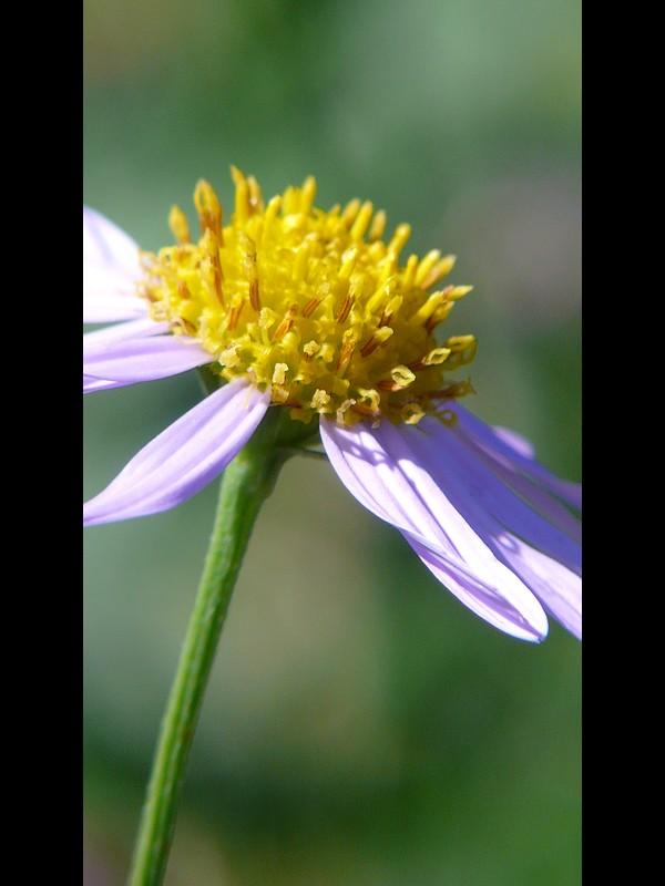 カントウヨメナ 陽光地競合なし状態 頭花