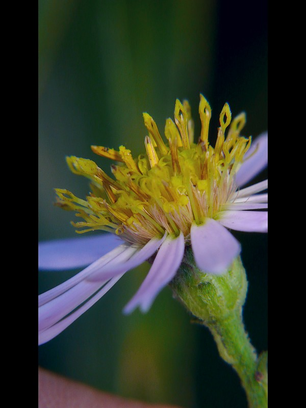 ノコンギク 頭花に見える冠毛