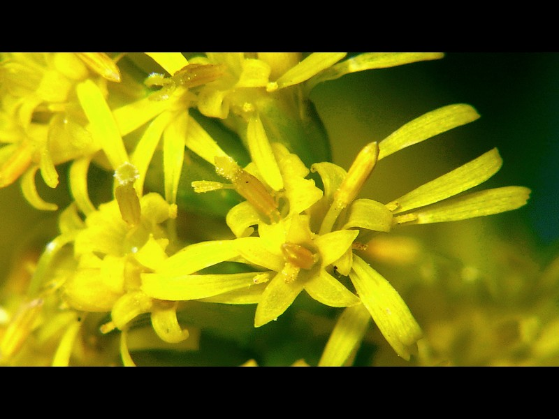 セイタカアワダチソウ 花の拡大