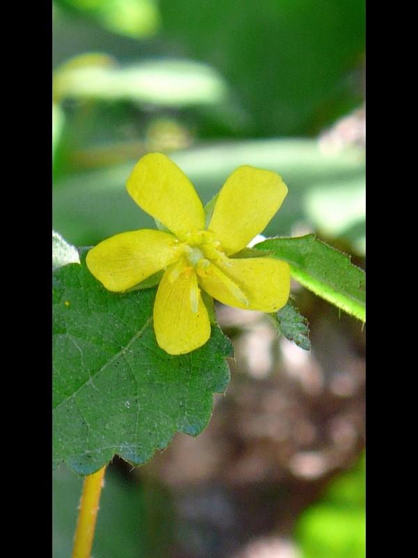 カラスノゴマ 花