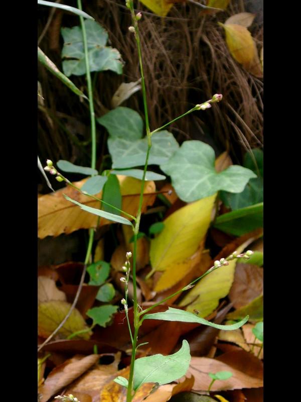 ヤブタデ 花序枝の付き方