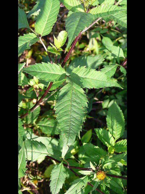 アメリカセンダングサ 葉