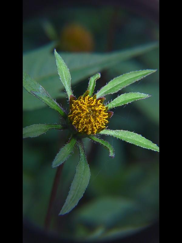 アメリカセンダングサ 頭花