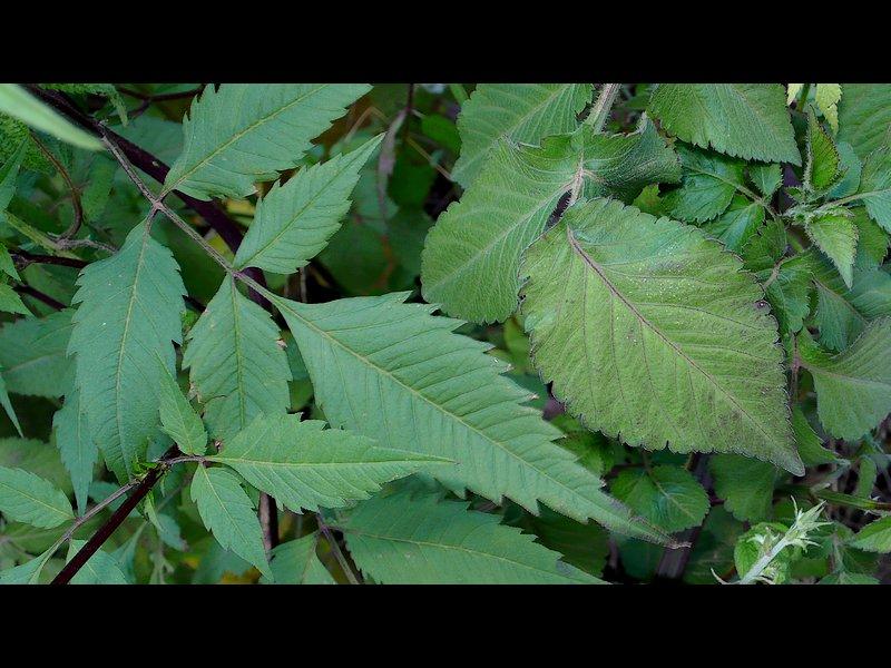 アメリカセンダングサ コセンダングサ 葉の比較