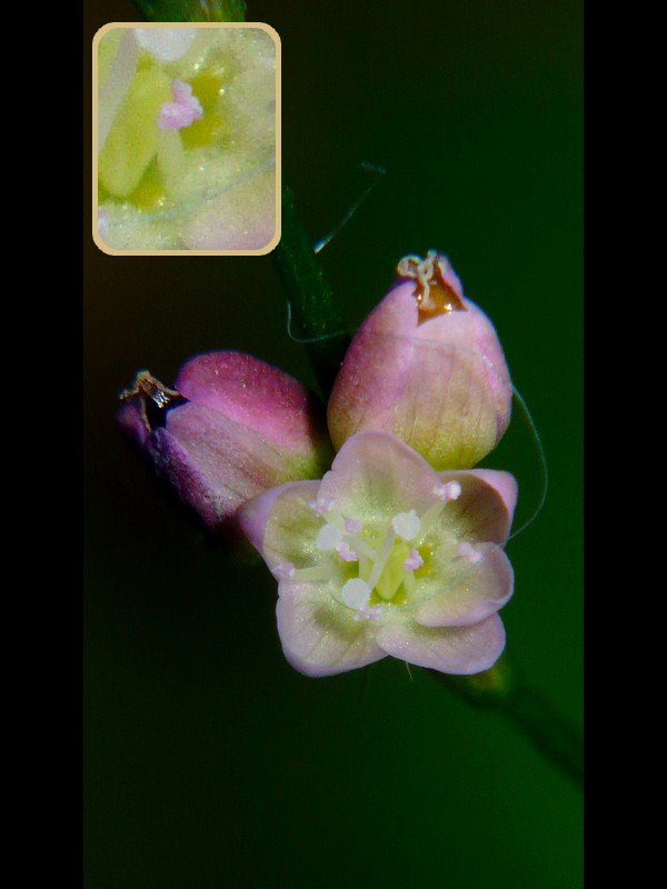 ヤブタデ 花の拡大