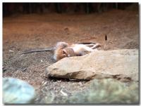 オルドカンガルーネズミ