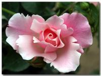薔薇-1-