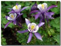 おだまき(紫)-1-
