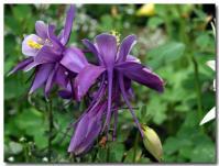 おだまき(紫)-2-