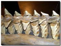 サメの歯-2-