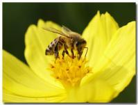 コスモスとハチ-2-