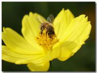 コスモスとハチ-3-