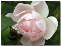 Peach Blossom-2-