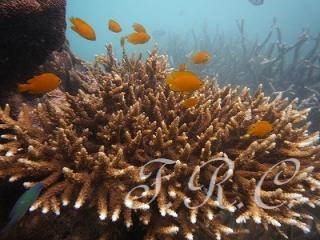 プーケッ トコーラル島 ダイビングシミラン クルーズ 観光ツアー