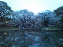 2011-04-10 代々木の桜