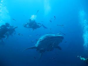 チュンポンピナクル Whale Shark