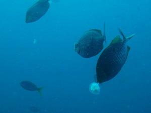チュンポンピナクル クラゲ ジャワラビットフィッシュ