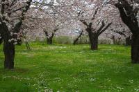 桜とデージーとタンポポ